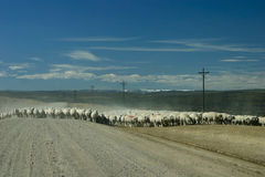 Sheep Moving Across Open Range Stock Photography
