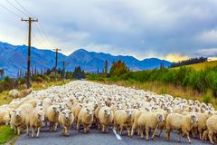 The sheep is moving along the highway. Huge herd of sheep is moving along the highway. Concept of active and ecological tourism. Exotic journey to the South stock image