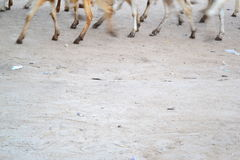 Sheep Moving Hooves Royalty Free Stock Photography