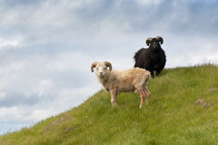 Sheep on Mykines Royalty Free Stock Photos
