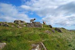 Sheep on Mykines, Faroe Islands. Sheep on Mykines with the blue sky , Faroe Islands stock image