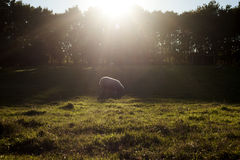 Sheep in nature. Sheep eating grass on sunset Royalty Free Stock Images