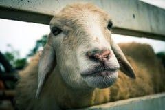 Sheep in nature. Farming sheep. Royalty Free Stock Photo