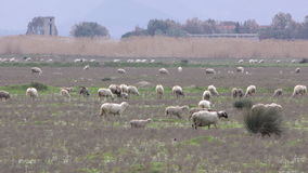 Sheep in Nature stock video footage