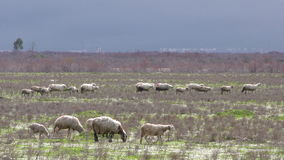 Sheep in Nature stock video