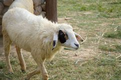 Sheep in nature garden Stock Photography