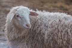 Sheep in nature on meadow. stock photos