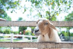 Sheep in nature on meadow royalty free stock photography