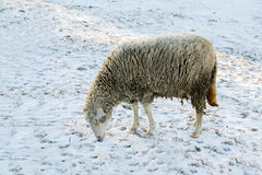 Sheep in nature on meadow. Farming outdoor Stock Images