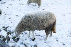 Sheep in nature on meadow. Farming outdoor. Royalty Free Stock Photo