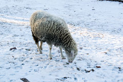 Sheep in nature on meadow on snow. Farming outdoor vector illustration