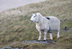 Sheep at the coast closeup Royalty Free Stock Photos