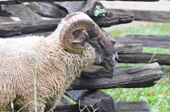 Sheep near fence 2 Stock Image