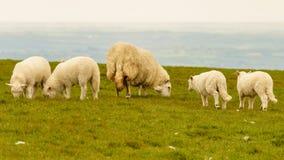 Sheep near Foel Eryr, Clynderwen, Pembrokeshire, Dyfed, Wales, U. Sheep with four lambs near Foel Eryr, Clynderwen, Pembrokeshire, Dyfed, Wales, UK Royalty Free Stock Images