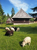 Sheep near folk house in Pribylina. Herd of black and white sheep with folk log buildings in Pribylina open-air museum, Slovakia. Pribylina open-air museum shows royalty free stock image