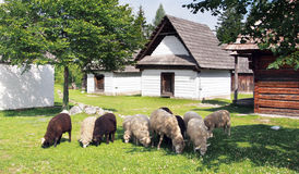 Sheep near folk houses Stock Photography