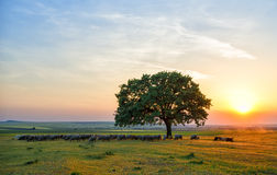 Sheep near an oak in the sunset in summer Stock Photo