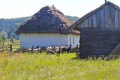 Sheep near old barn Stock Image