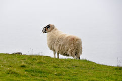 Sheep near Slieve League Cliffs, Ireland Stock Image