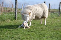A sheep and a new born lamb Stock Images