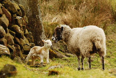 Sheep and new lamb. A new Spring Lamb with its mother Royalty Free Stock Photography