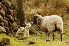 Sheep and new lamb Royalty Free Stock Photography