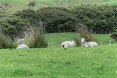 Sheep on New Zealand farm. Sheep and new lambs on farm in New Zealand in landscape royalty free stock photography