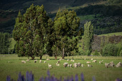 Sheep in New Zealand. Stock Photos