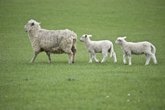 Sheep in New Zealand Royalty Free Stock Images