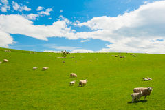 Sheep in the New Zealand Royalty Free Stock Images