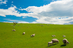 Sheep in the New Zealand. Common view in the New Zealand - hills covered by green grass with herds of sheep Royalty Free Stock Image