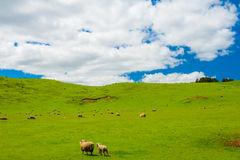 Sheep in the New Zealand Stock Image