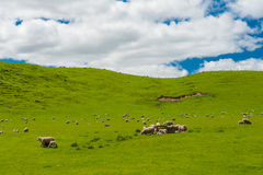 Sheep in the New Zealand Royalty Free Stock Photos