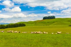Sheep in the New Zealand Stock Photos