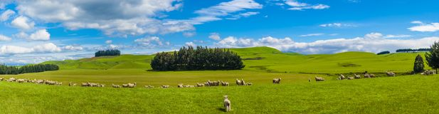 Sheep in the New Zealand. Common view in the New Zealand - hills covered by green grass with herds of sheep. Panorama Royalty Free Stock Image