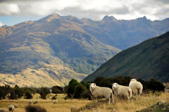 Sheep in New Zealand. Sheep farm in New Zealand Stock Photos