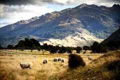 Sheep in New Zealand. Sheep farm in New Zealand Stock Photo