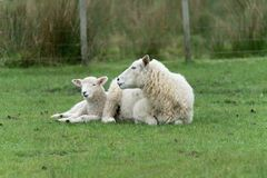Sheep on New Zealand farm. Sheep, ewe and new lamb resting on grass on farm in New Zealand stock photo