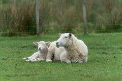 Sheep on New Zealand farm. Sheep, ewe and new lamb resting on grass on farm in New Zealand royalty free stock image