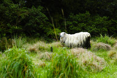 Sheep in New Zealand Stock Photo