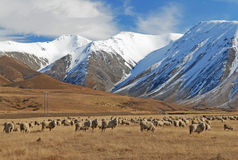 Sheep of New Zealand Stock Photography