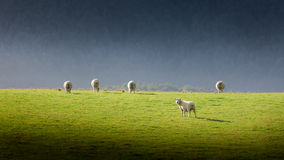 Sheep in New Zealand Stock Photography