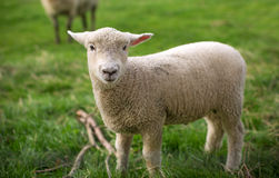 Sheep, New Zealand Stock Photo