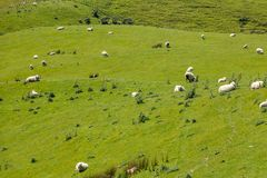 Sheep in New Zealand stock photos