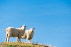 Sheep in New Zealand. Sheep on a small hill on the South Island of New Zealand Stock Image