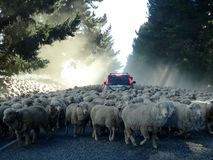 Sheep in New Zleand. Lots of sheep in the middle of the road in New Zealand around a car Royalty Free Stock Image