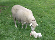 Sheep. Newborn sheep and its mother Stock Image