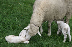 Sheep. Newborn sheep and its mother Royalty Free Stock Photos
