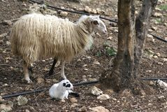 Sheep of a newborn lamb and ewe in a farmland Royalty Free Stock Photo