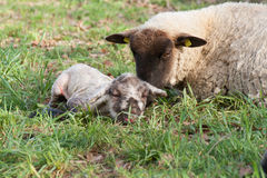 Sheep with newborn lamb Royalty Free Stock Image
